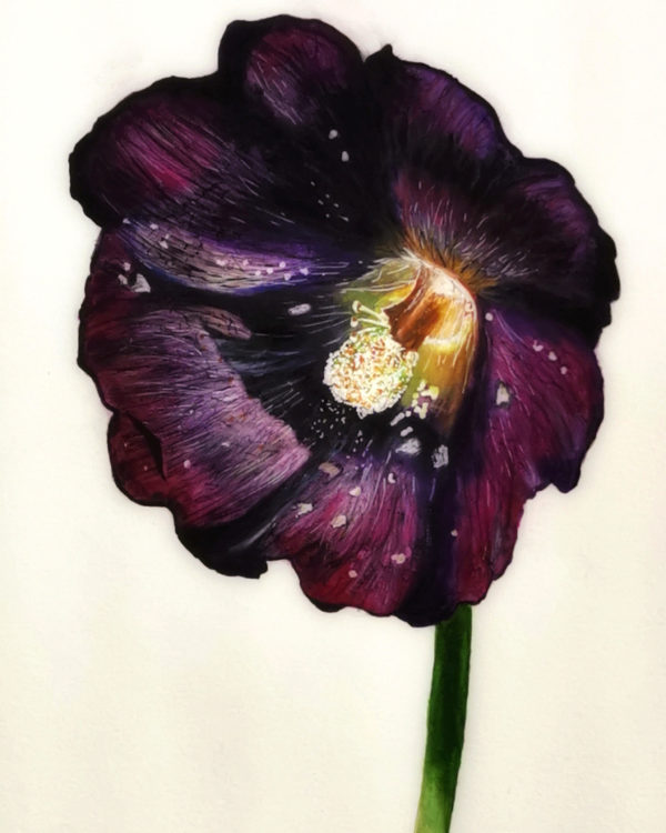 one black hollyhock, painting, white background, flower, still life