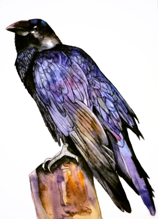 Crow, watercolor painting, Crow on a rock, colors black blue ochre, white background